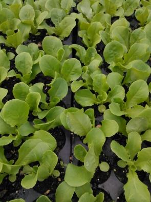 baby-lettuce-in-flats