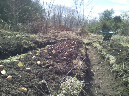 planting-red-gold-potatoes